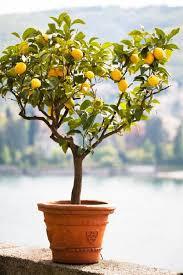 14 Best Dwarf Fruit Trees Images On Pinterest  Dwarf Fruit Trees Full Size Fruit Trees For Sale