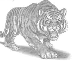 tiger drawing pictures. Fine Drawing Made Recently Inside Tiger Drawing Pictures T