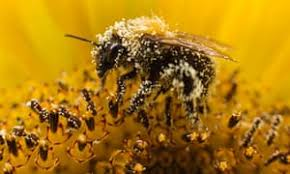 Image result for Wild bee species critical to pollination on the decline