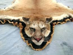 lion rug photo 3 of 7 mountain mount head taxidermy for 1 4 tiger skin book exceptional fake with des