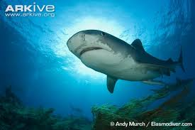 tiger shark videos photos and facts galeocerdo cuvier arkive tiger shark swimming