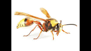 Wasp Identification 3 Simple Ways To Identify Wasps Pest Wiki