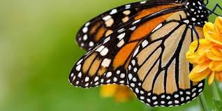 Image result for summer treatments butterfly
