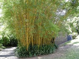 Image result for Bamboo Plants