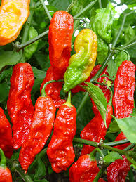 Ghost Pepper Chart Ghost Pepper Bhut Jolokia Chileplants Com