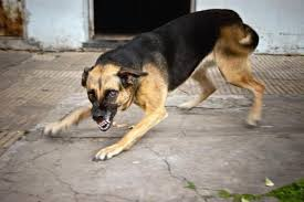 what to do if a rabid dog bites someone animalwised however recently there have been cases among infected people where artificial commas were induced and they were cured