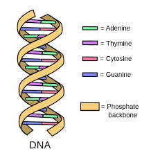 Dna Replication Definition What Is Dna Example