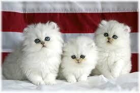 beautiful white cats wallpaper.  Wallpaper Beautiful White Cute Cat Pictures  Photos Wallpapers Throughout Cats Wallpaper A
