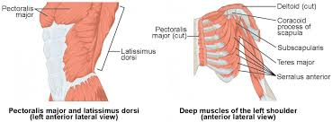 Related posts of chest muscles diagram muscle anatomy in thigh. Muscles Of The Pectoral Girdle And Upper Limbs Anatomy And Physiology I