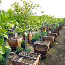 lemon tree x: display all pictures meyer lemon tree dwarf citrus x meyeri meyer
