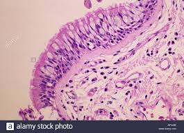 Light Microscope Epithelial Tissue Epithelial Tissue Of Trachea Tracheal Epithelium Stock Photo