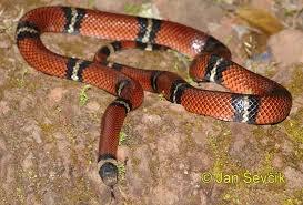 milk snake size image lampropeltis triangulum sinaloae sinaloan milk snake