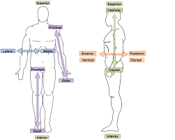 Anatomical Orientation And Directions Human Anatomy And