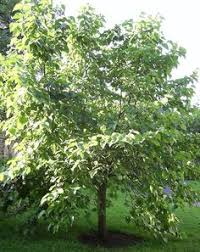 Weeping Mulberry Trees By WeatherWise Photo  Weather Teas Weeping Fruiting Mulberry Tree
