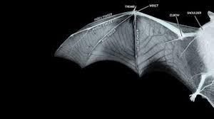 <b>Bat</b> Flight Inspires Next Generation of <b>Wing Design</b>
