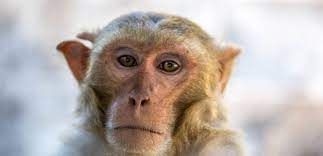 """الفيروس """"القردي"""" قتل طبيبا وشغل العالم.. معدل الوفيات 80 بالمئة وهذه عوارضه"""