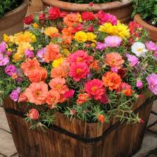 seedscare portulaca f2 hybrid kariba extra double mix flower seeds amazon in garden outdoors