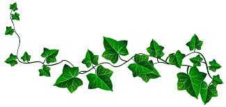 Image result for ivy