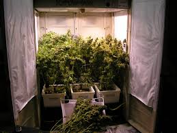 Hydroponic Grow Cabinet Qa With Jorge Best Strains For A Grow Cabinet Marijuanagrowingcom