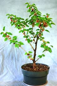 Mulberry Tree  EBayNon Fruiting Mulberry Tree