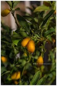 Lingered Upon U2013 Alice Gao  Photo Goodness  Pinterest  Orange Kumquat Tree Not Bearing Fruit