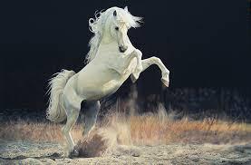 white horse rearing. Brilliant Horse Lawrencestarkeyrearingwhitehorse For White Horse Rearing T