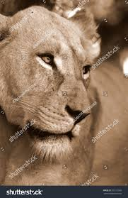 white lioness with blue eyes. Interesting Lioness A White Lioness Looking Intensely With Her Blue Eyes In This Beautiful  Close Up Photo Of In White Lioness With Blue Eyes