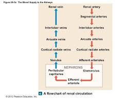Pathway Of Blood Flow To The Right Kidney Flow Chart Renal Circulation Anatomy Blood Diagram