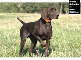 German Shorthaired Pointer Dog Breed | Dog Type Set Of Picture ...