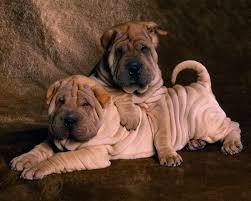 Shar pei puppies- Chinese shar pei puppies