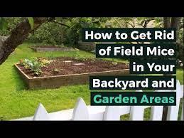 get rid of field mice in your backyard