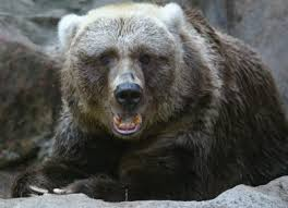 Grizzly Bear Classification Chart Differences Between Grizzly Kodiak Bears Animals Mom Me