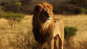 cool hunting backgrounds. Lion Hunting Wallpaper Cool Backgrounds E