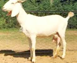 Dairy Goat Breeds All Dairy Goat Breeds Post Modern Farming Methods