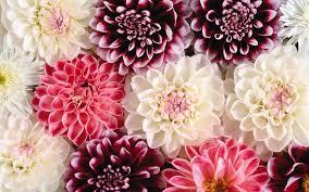 desktop background hd flowers. Plain Desktop Dahlia Flower Wallpapers Hd Download Intended Desktop Background Hd Flowers H