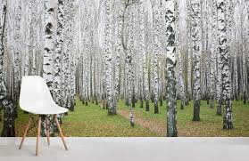 white birch forest forests room wall murals