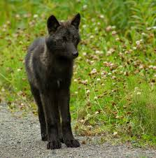black wolf and white wolf pups. Exellent Pups BlackWolfpupposingjpg Inside Black Wolf And White Pups H