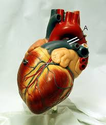 human physiology the cardiovascular system wikibooks open books  model of a human heart