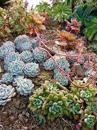 drought resistant garden. P1080628 Drought Resistant Garden