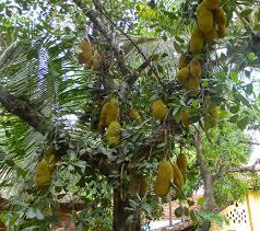 Kerala  CHAMBER OF MUSIC  Pinterest  KeralaKerala Fruit Trees