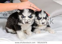 really cute baby husky puppies with blue eyes. Beautiful Blue Little Husky Puppies Cute Baby Dog With Blue Eyes Pet  Manu0027s Best Friend And Really Baby Puppies With Blue Eyes A