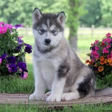 alaskan malamute mix puppies for