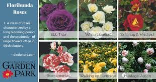 shrub roses hedge roses most are 3 5 feet tall and wide but can grow up to 8 feet tall