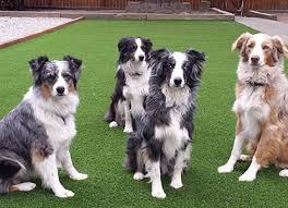 artificial grass for pets. Pet Turf Artificial Grass For Pets S