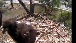 pritchett eagle cam.  Eagle Live Bald Eagle Nest Cam North Fort Myers Florida Throughout Pritchett T