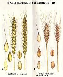 Ботаническое описание и распространение пшеницы ru Виды пшеницы гексаплоидной А t aestivum l мягкая Б