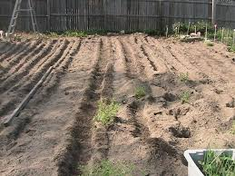 just a quick note that the row on the right is separated by some feverfew plants about ten feet into the row the carrot row then continues to as far back