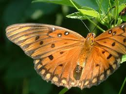 big pictures of butterflies. Delighful Butterflies Surprises Big And Small Page 9 To Pictures Of Butterflies