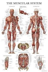 (bmd) similar to dmd but allows muscles to function better than in. Muscular System Anatomical Poster Laminated Muscle Anatomy Chart Double Sided 18 X 27 Amazon Com Industrial Scientific