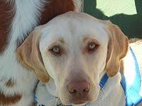 yellow lab with blue eyes.  Eyes Yellow Labrador With Brown Skin Colour With Lab Blue Eyes I